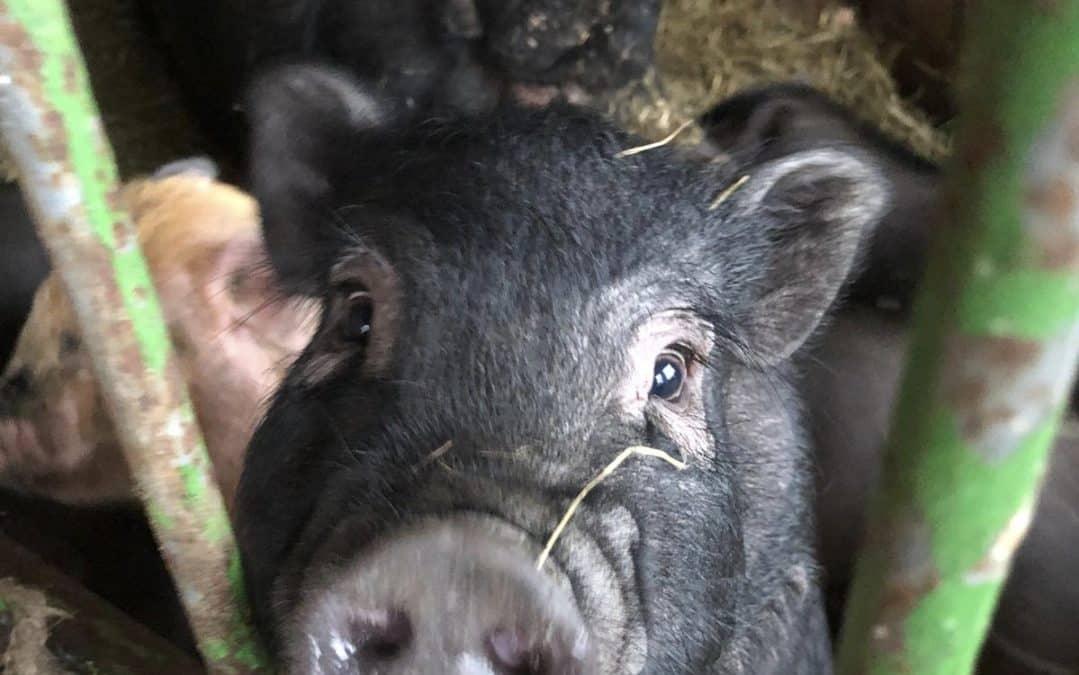 14 Minischweine